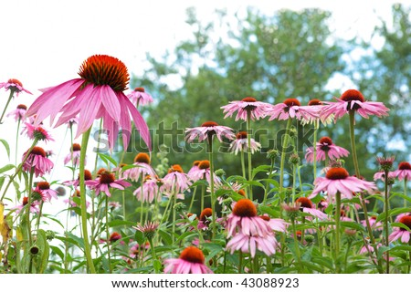 Fresh Cone flower plants in the garden - stock photo