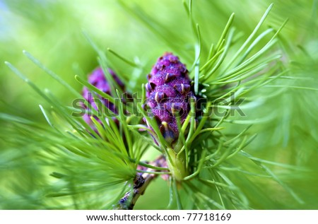 fresh cone on a larch in the spring
