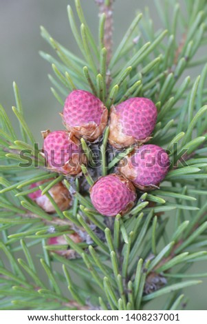 Fresh cones of Picea abies, the Norway spruce or European spruce #1408237001