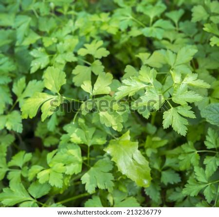 Fresh coriander herbs growing in an organic garden