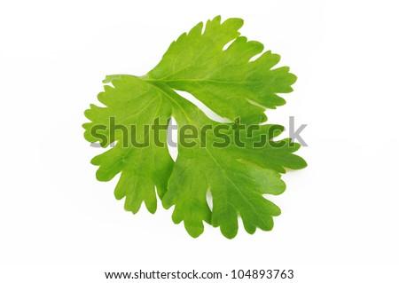Fresh coriander leaf isolated on white background.