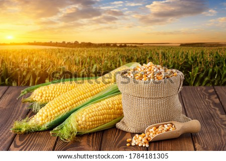Photo of  fresh corn cobs and dry seeds in bag on wooden table with green maize field on the background. Agriculture and harvest concept. Sunset or dawn