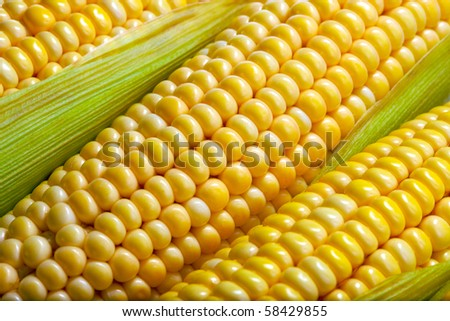fresh corn vegetable with green leaves closeup