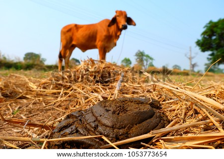 Fresh cow dung on the natural floor, bio-fertilizer from the cow dung.