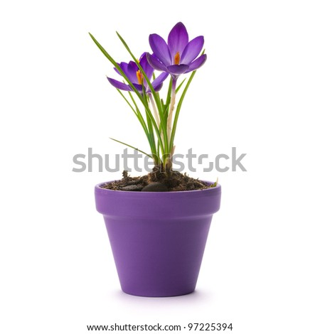 fresh crocus into a purple pot over a white background