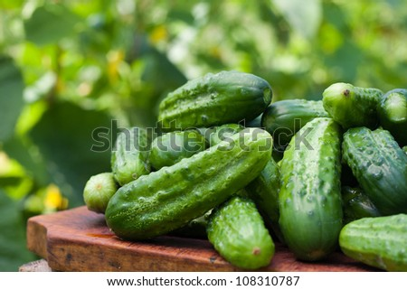 Fresh cucumbers picked from a garden in the countryside