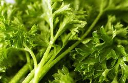 Fresh Curly Leaf Parsley close up