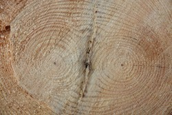 Fresh cut of a double pine tree trunk with twin annual rings close up surface