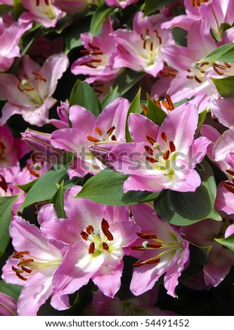 Fresh cut pink lilies, garden and flower exhibition
