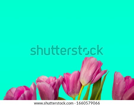 Fresh cut pink tulips isolated on Aqua Menthe 7FFFD4 background with copy space Stock photo ©