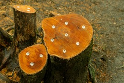 Fresh cut tree stump trunk with killer plugs that contains of granular glyphosate herbicide
