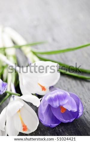 Fresh cut white and purple spring crocus flowers