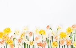 Fresh Daffodil Flowers on white Background