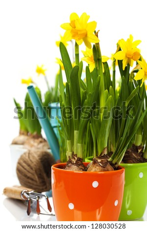 fresh daffodils and garden tools over white