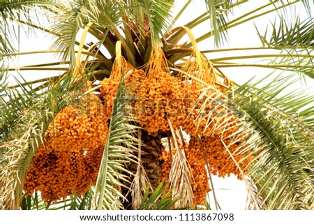 Fresh Dates from the Palm tree in Oman #1113867098
