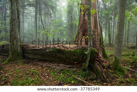 Fresh deciduous stand of Bialowieza Forest in summer with broken old oak and misty mixed forest in background