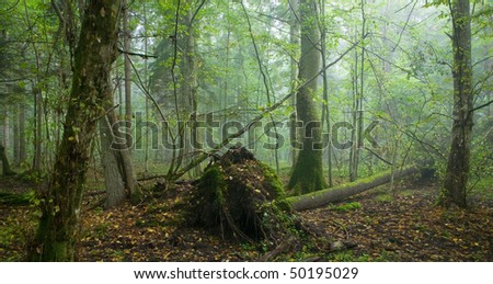 Fresh deciduous stand of Bialowieza Forest in summer with broken tree and misty mixed forest in background - stock photo