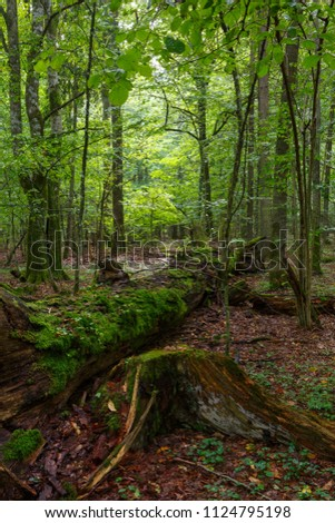 Fresh deciduous stand of Bialowieza Forest in summer with dead broken oak tree partly declined in foreground,Bialowieza Forest,Poland,Europe #1124795198