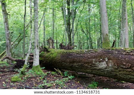 Fresh deciduous stand of Bialowieza Forest in summer with dead broken oak tree partly declined in foreground,Bialowieza Forest,Poland,Europe #1134618731
