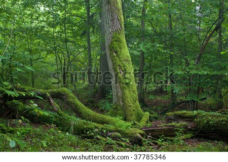 Fresh deciduous stand of Bialowieza Forest in summertime with dead broken oak in foreground moss wrapped