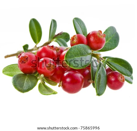fresh delicious cowberry cranberry bush  branch plant close up macro isolated on white