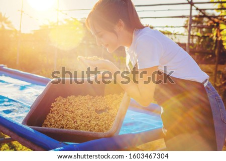 Fresh dry coffee beans in women barista hand. Barista checking quality fresh dry coffee beans by smell before roast with sunset background