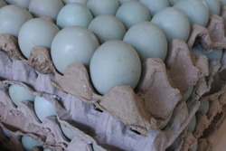 Fresh duck eggs in egg carton tray.stack of duck eggs in tray for sale.