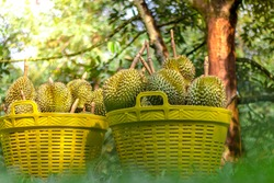Fresh durians in basket,Durian plantation, Durians are the king of fruits and can be grown in the right Tropical area only,chantaburi,Thailand is the best product place.