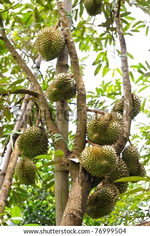 Fresh durians, the king of fruit on the tree.