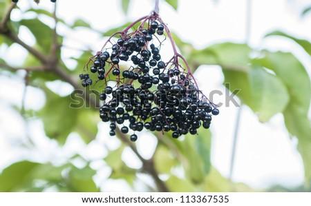 Fresh elderberry.