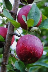 Fresh empire red apple on a tree branch with leaves and water droplets