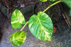 Fresh Epipremnum aureum plant (sirih gadih) against a cement floor
