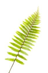 fresh fern leaf isolated
