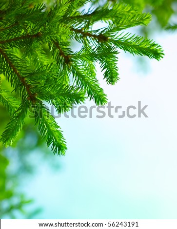Fresh fir branch in sunshine.