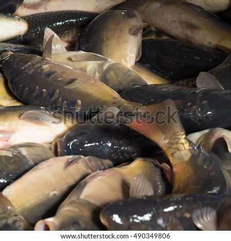 Fresh fish carp. Texture scales, tail and fins. #490349806