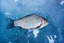 fresh fish caught on the ice at the winter ice fishing on the river