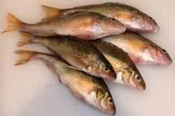Fresh fish Eurasian Ruffe (Gymnocephalus cernuus) on a white kitchen board.