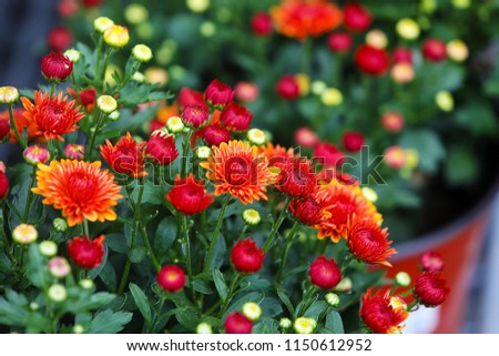 Fresh floral background with vibrant red and orange Chrysanthemum (Hardy Mums) flowers, vivid green foliage and blurred plants .