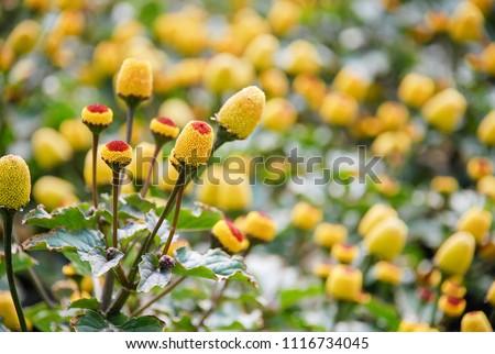 Fresh flowering para cress plant, Spilanthes oleracea.