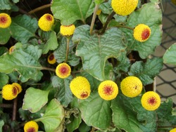 Fresh flowering para cress plant, Spilanthes oleracea, toothache