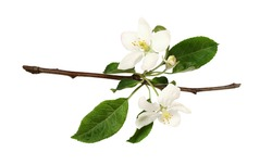 Fresh flowers and buds of apple tree isolated on white