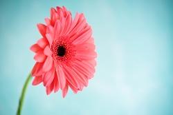 Fresh flowers pink gerberas. tinting. selective focus