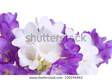 Fresh fresia flowers isolated over white background