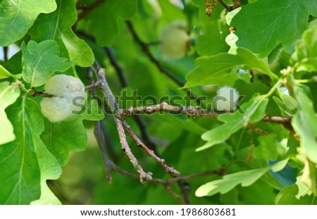 Fresh gall made by Cottonwool Gall Wasp, Andricus quercusramuli in Finland. It is a cynipid wasp that causes galls to form on the catkins of English Oak, Quercus robur. Galling of a male catkin. Foto stock ©