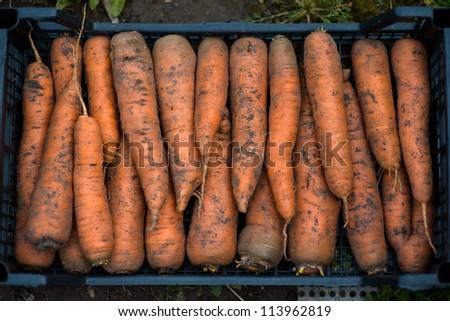 Fresh garden carrots in box