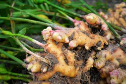 fresh ginger plant farm / harvest ginger root on field agricultural area on hill and green leaf dig from soil ground for sold in the market