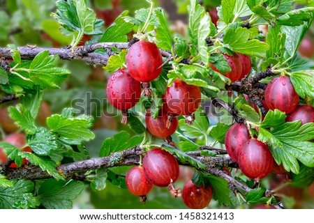 Fresh gooseberry on a branch of a gooseberry Bush in the garden. Close-up view of organic gooseberry berries hanging on a branch under the leaves. Stock photo ©