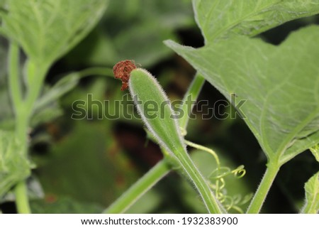 Fresh gourd vegetable growing in the garden,india. concept for Organic and disease-free gourd vegetable yield,Gourd vegetable advancement,Natural cultivation of gourd , Increasing gourd production Foto stock ©