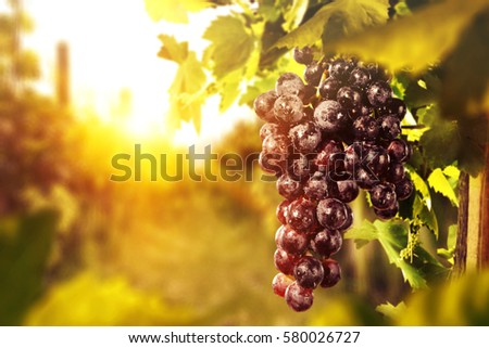 fresh grapes fruits on plant and summer sun light  #580026727