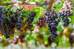 Fresh grapes on the vine